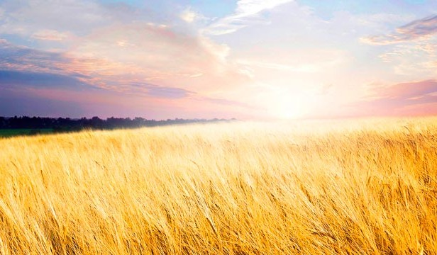 Image of a cornfield at sunset